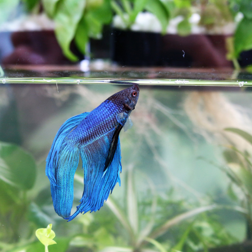 Aquarium Garden Betta 1080x1080 150dpi